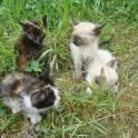 в добрые руки котята от кошки-мышеловки