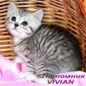 Британские котята вискас из питомника IVIAN.