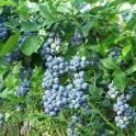 Голубика свежая из Беларуси