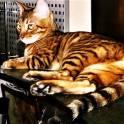 Котята бенгальские