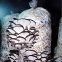 Изготовим грибные блоки вешенки