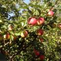 Продаются плодовые и декоративные деревья и кустарники, многолетние цветы