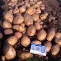 Картофель оптом в Пензенской области от 1 тонны