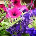 Продается цветущая рассада цветов для клумб, кашпо,  газонов