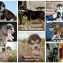 Продаю щенков аляскинского маламута
