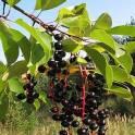 Продам сушеные плоды черемухи целой