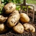 Картофель(продовольственный,семенной,мелкий)