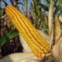 Семена кукурузы Краснодарский 291 АМВ