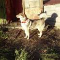 Продаю щенков западно-сибирской лайки