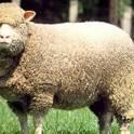 Закупаем баранов живых, порода меринос, весом не менее 15 кг