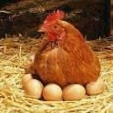 Продам свои домашние куриные яйца