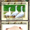 Продажа гусей тушками