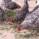 Инкубационное яйцо курицы