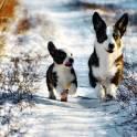 Вельш корги кардиган щенки