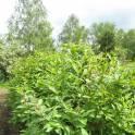 Саженцы сирени обыкновенной, высотой  0,9-1,1 метра.