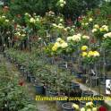 Продам кусты роз