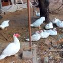 Продаю (или меняю одного селезня на три молодые курицы несушки) селезней мускусных белых (шипуны) на развод.