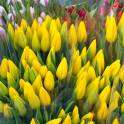 Тюльпаны оптом Красноярск, высота 50-70 см! Лучшее качество по лучшей цене!