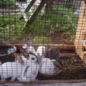 Продаю кроликов