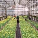 Тюльпаны к 8 марта
