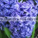Гиацинт –  цветы оптом к 8 марта.