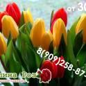 Тюльпаны оптом Смоленск 30 рублей