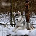 Очаровательная девочка Сибрский хаски