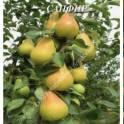 Саженцы колоновидных яблонь,груш и сливы.
