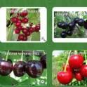Саженцы вишни,черешни ,сливы и алычи.
