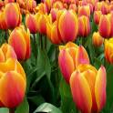 Продаю оптом цветы тюльпаны