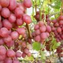 саженцы и черенки винограда из собственного питомника