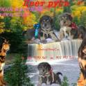 тибетский мастиф щенки д.р.6.02.16