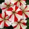 Рассада цветов петуния и другие однолетние