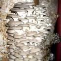 Готовые грибные блоки вешенки от производителей