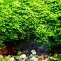 Мох Риккардия(Riccardia chamedryfolia)