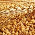 Пшеница 3 класс в Астрахани