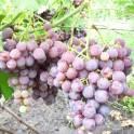 саженцы и черенки винограда прикаспийские устойчивые