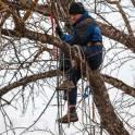 Удаление, спиливание деревьев бензопилами в Ступино