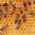 Продаю дадановские пчелосемьи