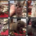 Продаём Британских и шотландских вислоухих котят!