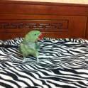 Улетел Александрийский попугай