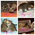 Бенгальские клубные котята