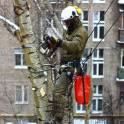 Удаление, спил, обрезка деревьев в Балабаново, фотография 2