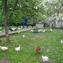 молодки несушки цыплята