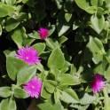 Разные суккуленты и другие растения, фотография 5
