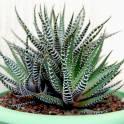 Разные суккуленты и другие растения, фотография 6