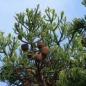Араукария бразильская узколистная, фотография 2