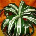 продам драцену кудрявую взрослую в керамическом горшке +подарок хойя.
