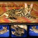 Бенгальские - мини леопардики, для Вас!