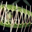 Хищное растение. Венерина мухоловка. Дионея. Цветы. Смоленск., фотография 2